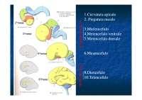 Anatomia - Cervello Parte 1