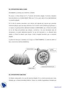 Intestino delgado y grueso - Apuntes - Anatomía