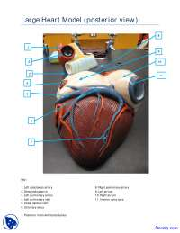 Large Heart Model Posterior View - Human Anatomy - Handout