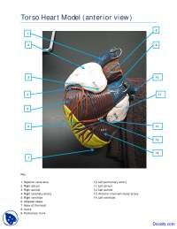 Torso Heart Model Anterior View - Human Anatomy - Handout