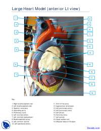 Large Heart Model Anterior Lateral View - Human Anatomy - Handout