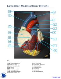 Large Heart Model Anterior View - Human Anatomy - Handout