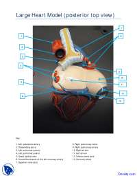 Posterior Top View of Large Heart Model - Human Anatomy - Handout