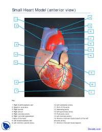 Small Heart Model Anterior View - Human Anatomy - Handout