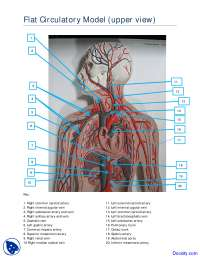 Upper View of Flat Circulatory Model - Human Anatomy - Handout