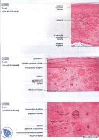 Histoloski preparati-Vezbe-Histologija sa embriologijom-Medicina (3)