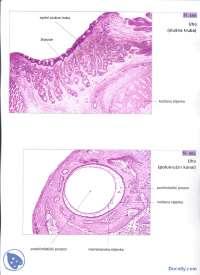 Histoloski preparati-Vezbe-Histologija sa embriologijom-Medicina (25)