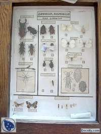Dimorfizam i polimorfizam -Vežbe- Entomologija- Šumarski