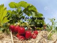 Cultura do Morango, Slides de Botânica