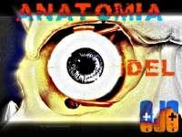 Anatomía del ojo, saber los músculos que permiten la visión.