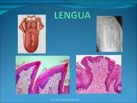 Histología de Lengua