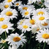 Ромашечки, цветочки, люблю цветочки