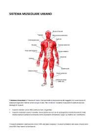 Il sistema muscolare umano