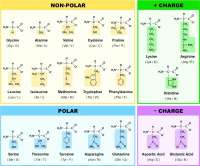Amino acid, chemical structures, Exercises for Chemistry