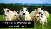 Absorção de proteínas em bovinos de corte