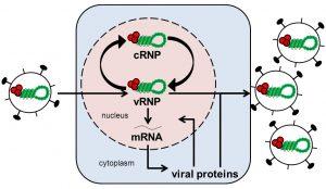 Visual based explanation of Genomic Replication of Viruses