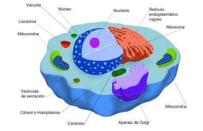 Organelos celulares: cómo identificarlos y diferenciarlos